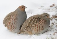 Graypartridge